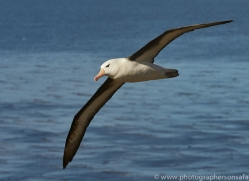black-brow-albatross-copyright-photographers-on-safari-com-9004