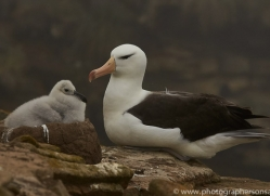 black-brow-albatross-copyright-photographers-on-safari-com-9005