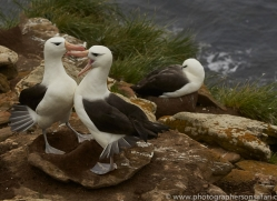 black-brow-albatross-copyright-photographers-on-safari-com-9006