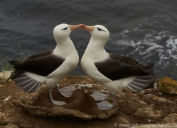 black-brow-albatross-copyright-photographers-on-safari-com-9007