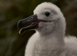 black-brow-albatross-copyright-photographers-on-safari-com-9011