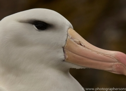 black-brow-albatross-copyright-photographers-on-safari-com-9012
