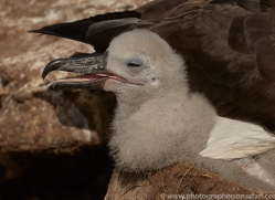 black-brow-albatross-copyright-photographers-on-safari-com-9014