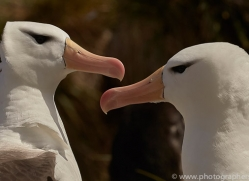 black-brow-albatross-copyright-photographers-on-safari-com-9015