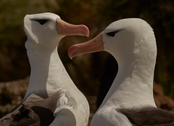 black-brow-albatross-copyright-photographers-on-safari-com-9016