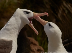 black-brow-albatross-copyright-photographers-on-safari-com-9017
