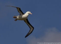 black-brow-albatross-copyright-photographers-on-safari-com-9019