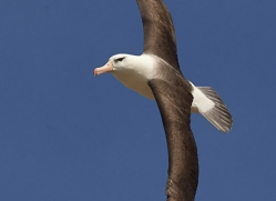 black-brow-albatross-copyright-photographers-on-safari-com-9020