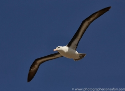 black-brow-albatross-copyright-photographers-on-safari-com-9021