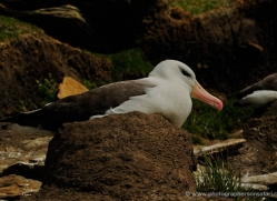 black-browed-albatross-falkland-islands-4943-copyright-photographers-on-safari-com