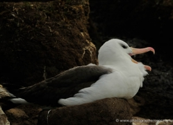 black-browed-albatross-falkland-islands-4944-copyright-photographers-on-safari-com