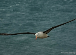 black-browed-albatross-falkland-islands-4945-copyright-photographers-on-safari-com