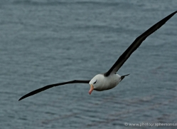 black-browed-albatross-falkland-islands-4946-copyright-photographers-on-safari-com