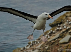 black-browed-albatross-falkland-islands-4947-copyright-photographers-on-safari-com