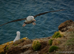 black-browed-albatross-falkland-islands-4949-copyright-photographers-on-safari-com