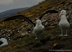 black-browed-albatross-falkland-islands-4950-copyright-photographers-on-safari-com