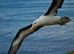 black-browed-albatross-falkland-islands-4951-copyright-photographers-on-safari-com
