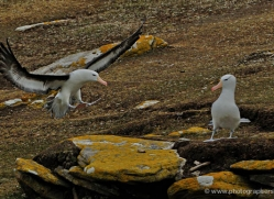 black-browed-albatross-falkland-islands-4954-copyright-photographers-on-safari-com