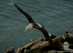 black-browed-albatross-falkland-islands-4956-copyright-photographers-on-safari-com