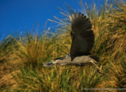 black-capped-night-heron-falkland-islands-5013-copyright-photographers-on-safari-com