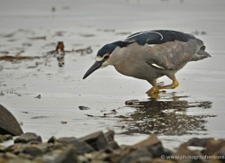 black-capped-night-heron-falkland-islands-5014-copyright-photographers-on-safari-com