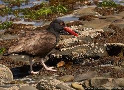 black-oystercatcher-copyright-photographers-on-safari-com-9022