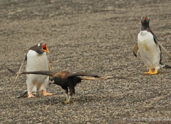 caracara-falkland-islands-4959-copyright-photographers-on-safari-com
