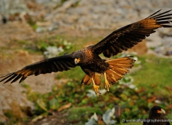 caracara-falkland-islands-4968-copyright-photographers-on-safari-com