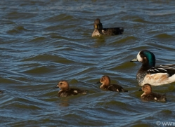 chiloe-wigeon-copyright-photographers-on-safari-com-9025