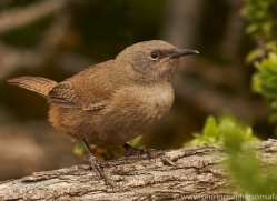 cobb's-wren-copyright-photographers-on-safari-com-9027