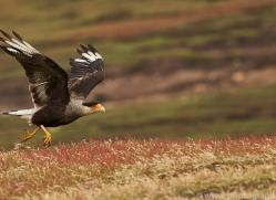 crested-caracara-copyright-photographers-on-safari-com-9028