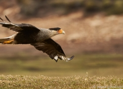 crested-caracara-copyright-photographers-on-safari-com-9029