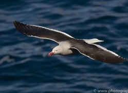 dolphin-gull-copyright-photographers-on-safari-com-9034