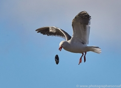 dolphin-gull-copyright-photographers-on-safari-com-9035