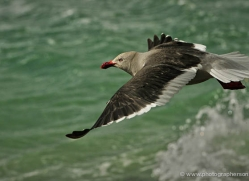 dolphin-gull-falkland-islands-4984-copyright-photographers-on-safari-com