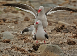 dolphin-gull-falkland-islands-4986-copyright-photographers-on-safari-com