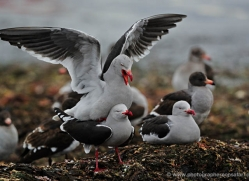 dolphin-gull-falkland-islands-4987-copyright-photographers-on-safari-com