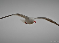 dolphin-gull-falkland-islands-4988-copyright-photographers-on-safari-com