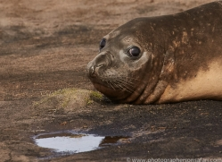 elephant-seal-copyright-photographers-on-safari-com-9039
