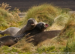 elephant-seal-copyright-photographers-on-safari-com-9040