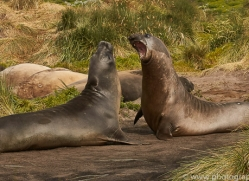 elephant-seal-copyright-photographers-on-safari-com-9042