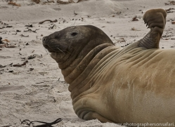 elephant-seal-copyright-photographers-on-safari-com-9043