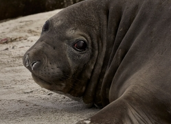 elephant-seal-copyright-photographers-on-safari-com-9044