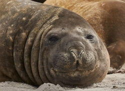 elephant-seal-copyright-photographers-on-safari-com-9045