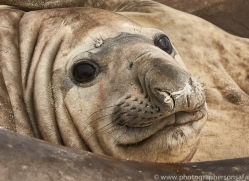 elephant-seal-copyright-photographers-on-safari-com-9046