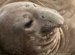 elephant-seal-copyright-photographers-on-safari-com-9049