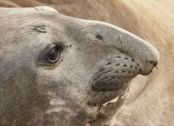 elephant-seal-copyright-photographers-on-safari-com-9050