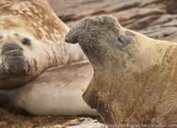 elephant-seal-copyright-photographers-on-safari-com-9051