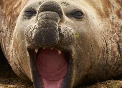 elephant-seal-copyright-photographers-on-safari-com-9052