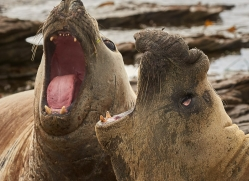 elephant-seal-copyright-photographers-on-safari-com-9054